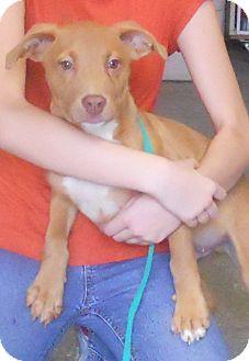 Labrador Retriever/Terrier (Unknown Type, Medium) Mix Puppy for adoption in Belvidere, Illinois - Morris