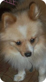 Pomeranian Dog for adoption in Conway, New Hampshire - Teddy (Po)