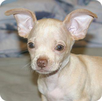 Chihuahua/Dachshund Mix Puppy for adoption in Santa Ana, California - Frito