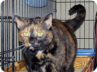 Domestic Shorthair Cat for adoption in Bedford, Virginia - Anastasha