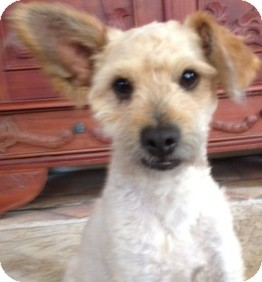 Poodle (Miniature) Mix Dog for adoption in Thousand Oaks, California - Hudson