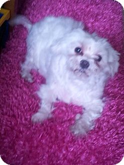 Maltese Dog for adoption in Puyallup, Washington - Talia