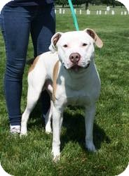 American Bulldog Mix Dog for adoption in Crown Point, Indiana - Silas (FOSTER NEEDED)