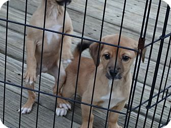 Chihuahua/Beagle Mix Puppy for adoption in Syacuse, New York - Bentley