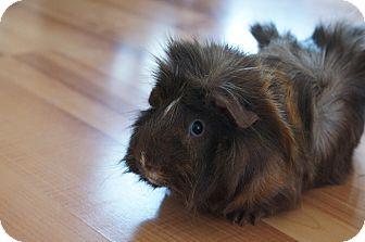 Guinea Pig for adoption in Brooklyn Park, Minnesota - Charlie