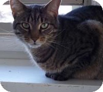 Domestic Shorthair Cat for adoption in Ashland, Ohio - Simba
