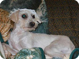 Poodle (Miniature) Dog for adoption in El Cajon, California - Pippin