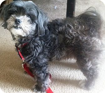 Shih Tzu Dog for adoption in Oswego, Illinois - Lexi