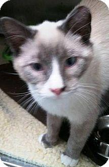 Siamese Cat for adoption in Adrian, Michigan - Jerry