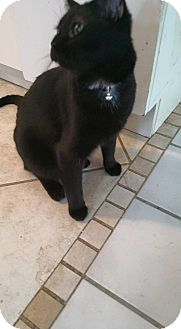 Domestic Shorthair Cat for adoption in Carrollton, Texas - Mirage