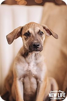 Pit Bull Terrier Mix Puppy for adoption in Portland, Oregon - Tanner