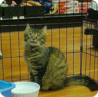 Domestic Mediumhair Cat for adoption in Hamilton, Ontario - Sheena