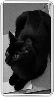 Domestic Shorthair Kitten for adoption in Hinton, Alberta - Tiny