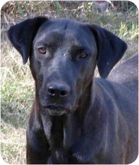 Great Dane/Labrador Retriever Mix Dog for adoption in Montevallo, Alabama - Charlie