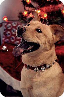 Labrador Retriever/Husky Mix Dog for adoption in Fort Riley, Kansas - Mick