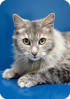 Maine Coon Cat for adoption in Dublin, California - Sheba