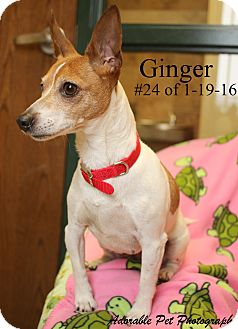 Rat Terrier Dog for adoption in Gaylord, Michigan - Ginger