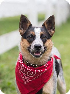 Australian Cattle Dog Dog for adoption in Union Grove, Wisconsin - Callie-Adopted