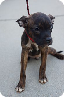 Boston Terrier Mix Puppy for adoption in Newark, Delaware - Gloria