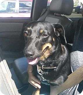 Dachshund/Pomeranian Mix Dog for adoption in Marcellus, Michigan - Gunny-PENDING ADOPTION
