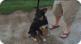 Rottweiler/Australian Cattle Dog Mix Dog for adoption in Waynesboro, Tennessee - Simone