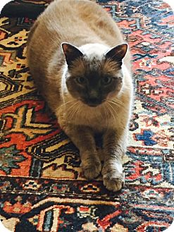 Siamese Cat for adoption in Novato, California - Mr. Mugatu