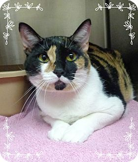 Domestic Shorthair Cat for adoption in Marietta, Georgia - MISS KITTY