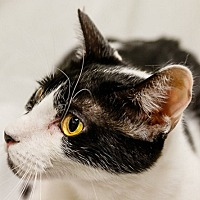 Domestic Shorthair Cat for adoption in oakland park, Florida - Alpha