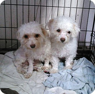 Maltese/Poodle (Miniature) Mix Dog for adoption in Daleville, Alabama - Captain