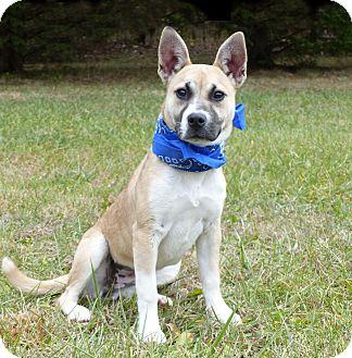 Shepherd (Unknown Type) Mix Dog for adoption in Mocksville, North Carolina - Darby