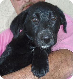 Australian Shepherd/Labrador Retriever Mix Puppy for adoption in Melrose, Florida - Ariel
