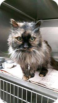 Domestic Mediumhair Cat for adoption in Leamington, Ontario - Dolly