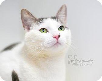 Domestic Shorthair Cat for adoption in Reisterstown, Maryland - Marmalade