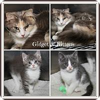Domestic Mediumhair Cat for adoption in Marietta, Ohio - Gidget & Kittens (New Photos)