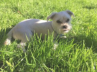 Pug/Maltese Mix Puppy for adoption in Redondo Beach, California - Biscuit is a Malti-Pug!