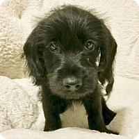 Adopt A Pet :: Kona - Brea, CA