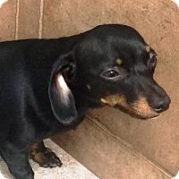 Adopt A Pet :: Lucy - Oswego, IL
