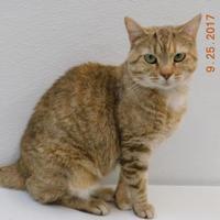 Domestic Shorthair/Domestic Shorthair Mix Cat for adoption in Owensboro, Kentucky - Brorange