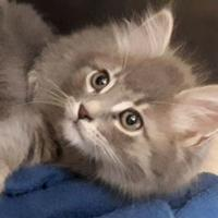 Adopt A Pet :: ORION - THORNHILL, ON
