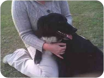 Australian Shepherd/Border Collie Mix Dog for adoption in Chiefland, Florida - Luna