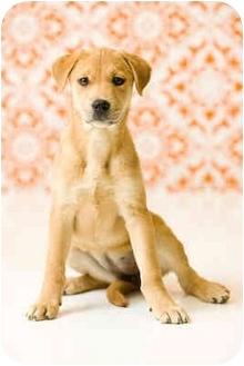 Labrador Retriever Mix Puppy for adoption in Portland, Oregon - Havana