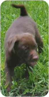 Labrador Retriever Mix Puppy for adoption in White Settlement, Texas - Brownie