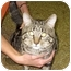 Photo 4 - Domestic Shorthair Cat for adoption in Ottawa, Illinois - Joe