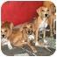 Photo 2 - Bloodhound/Vizsla Mix Puppy for adoption in Latrobe, Pennsylvania - 1 Bloodhound Mix Girl