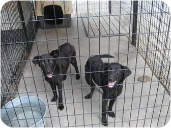 Labrador Retriever Mix Dog for adoption in Henderson, North Carolina - Midnight & Lola