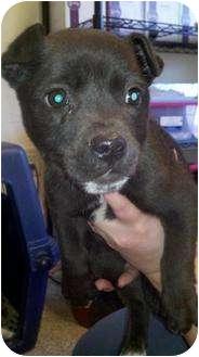 Collie Mix Puppy for adoption in Alamogordo, New Mexico - Elijah
