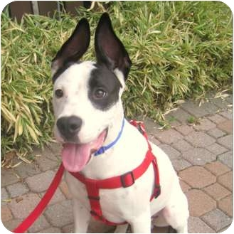 American Staffordshire Terrier Mix Puppy for adoption in Park Ridge, New Jersey - Bruno