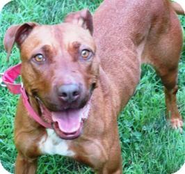 Pit Bull Terrier/Rhodesian Ridgeback Mix Dog for adoption in Bloomfield, Connecticut - Porsche