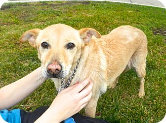Feist Mix Dog for adoption in Birmingham, Michigan - Gladys