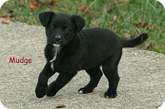 Labrador Retriever Mix Puppy for adoption in Danbury, Connecticut - Mudge
